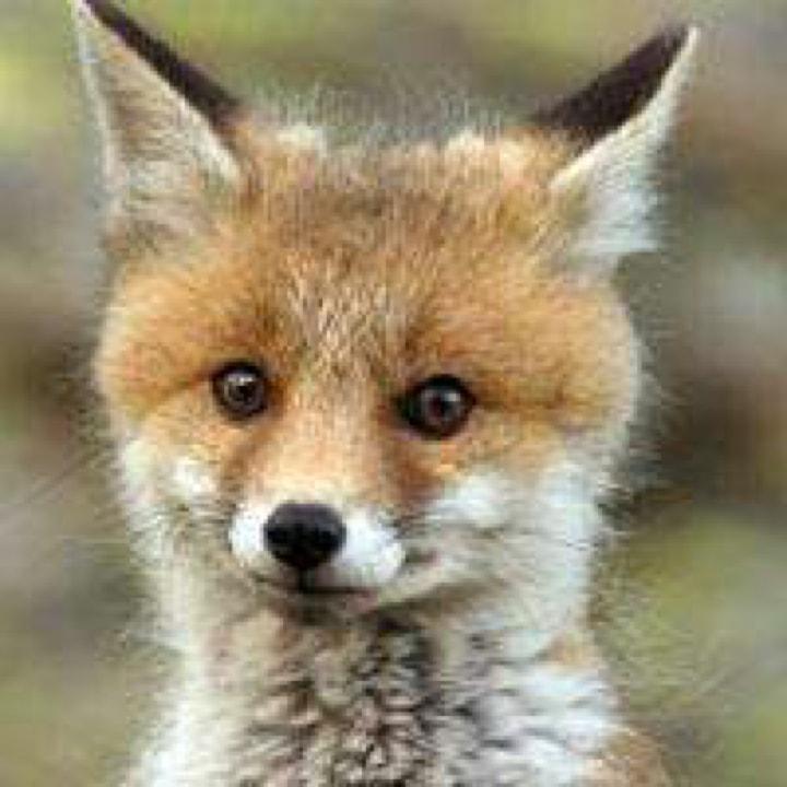 大耳朵的傻狐狸
